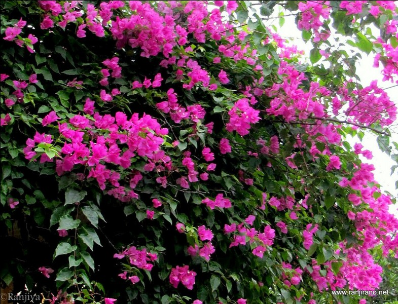 Ce célèbre navigateur, Jean-François de la Pérouse, donna son nom à cet arbuste épineux, aux fleurs magnifiques !