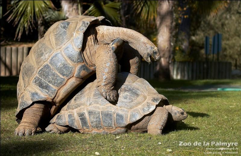 Les tortues géantes terrestres peuvent vivre plus de 100 ans !