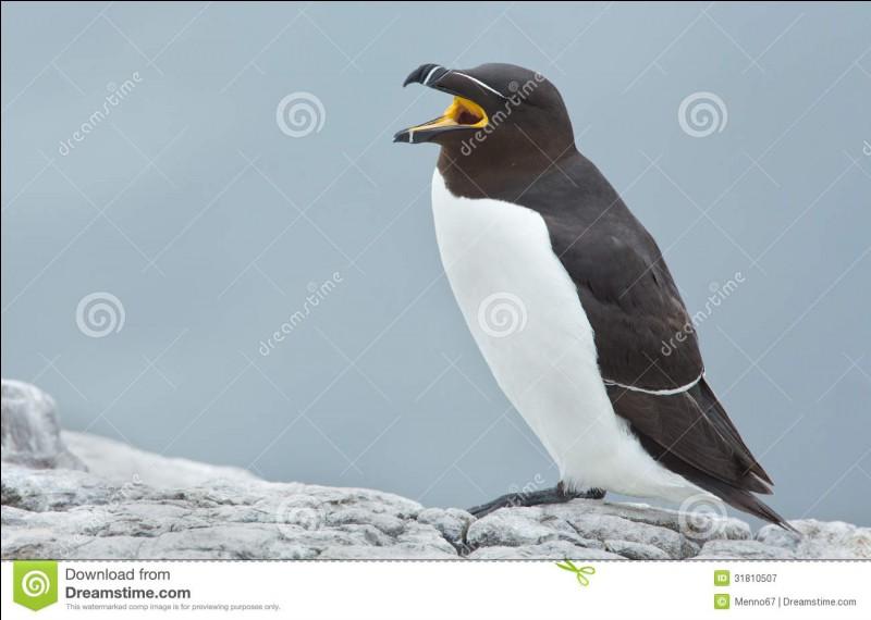 Cet oiseau est un pingouin !
