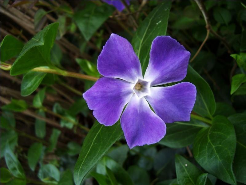 Pour permettre à ce quiz d'avoir un peu plus de gaieté, dites-moi le nom de cette fleur bleue ?