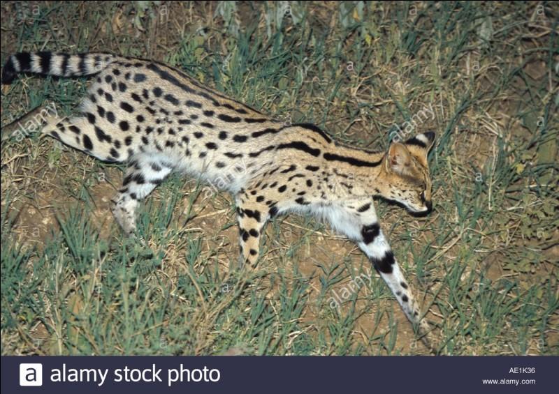 quizz le serval quiz animaux felins mammiferes. Black Bedroom Furniture Sets. Home Design Ideas