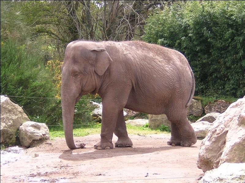 Animaux - Lequel de ces éléphants a les plus petites oreilles ?