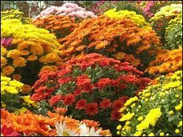 Complétez ce dicton : Automne en fleurs ...