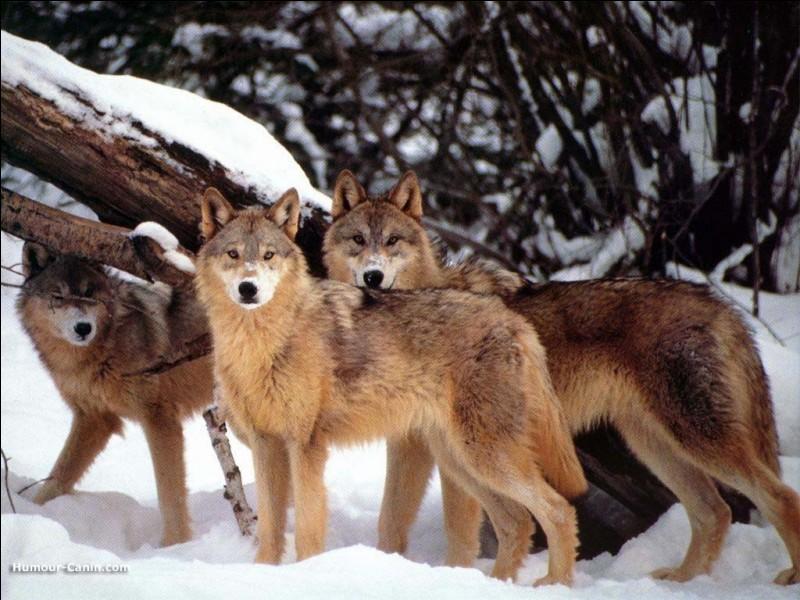 Le hurlement du loup peut se faire entendre à 26 kilomètres à la ronde.