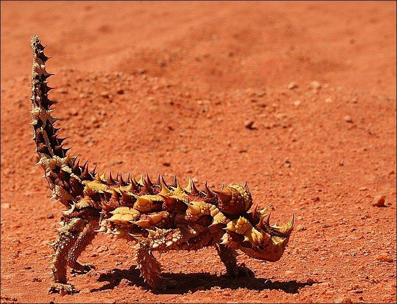 """M - Le """"moloch"""", lézard d'Australie couvert d'épines pointues, est très agressif."""