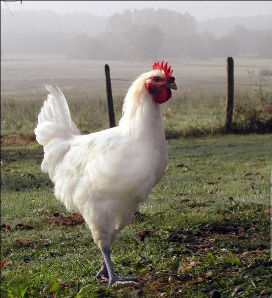 """Comment dit-on """"poulet"""" ?"""