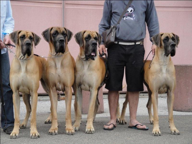 Quelle est la plus grande race de chien au monde ?