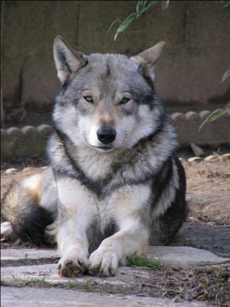 Quelle différence entre chien et loup ?
