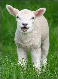 """Comment dit-on """"agneau"""" en anglais ?"""