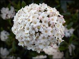 """Quel est le vrai nom de la fleur appelée populairement """"Boule de neige"""" ?"""