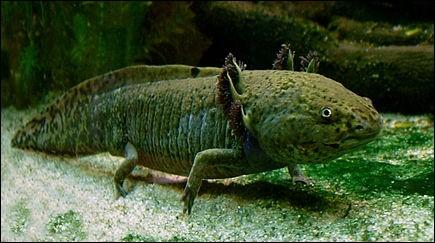 Trouvez l'orthographe exacte de cet animal étrange ayant la capacité de passer toute sa vie à l'état larvaire !