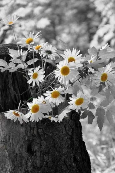 Voici une question vache ! Dans quel film d'Henri Verneuil rencontre-t-on un animal portant le nom de ces fleurs ?