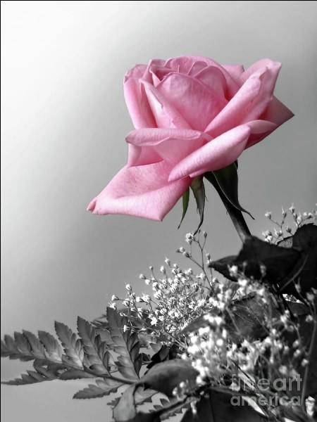 Dans l'œuvre de Saint-Exupéry, quelle fleur était l'amie du Petit Prince ?