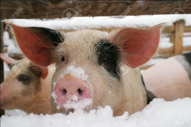 """Et """"cochon"""", comment dit-on ?"""