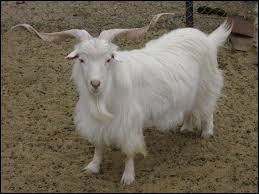 Avec la laine de quel animal fait-on du cachemire ?