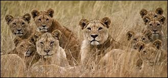 Sur quel continent vivent la plupart des lions à l'état sauvage ?