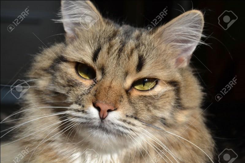 Une chatte, nommée Missi, a eu le record du chat aux plus grandes moustaches, elles mesuraient 15 cm !