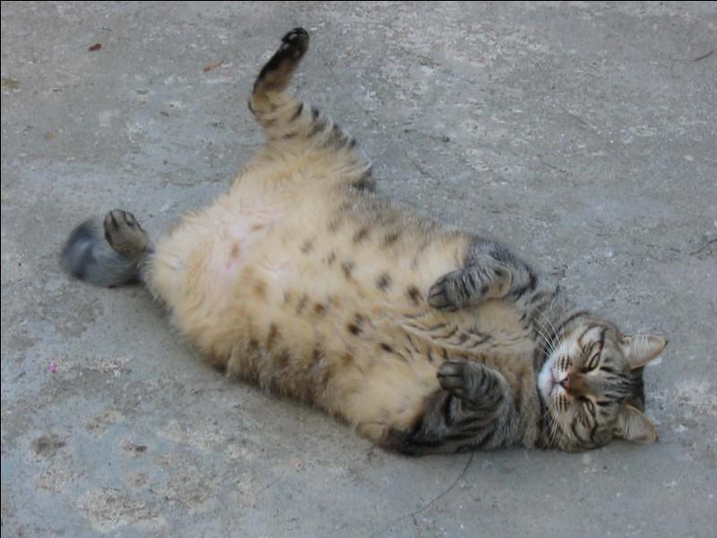 Passons maintenant au plus gros chat. Le chat le plus gros, appelé Himmy, pesait 21,3 kilos sur la balance à l'âge de 10 ans et 4 mois !