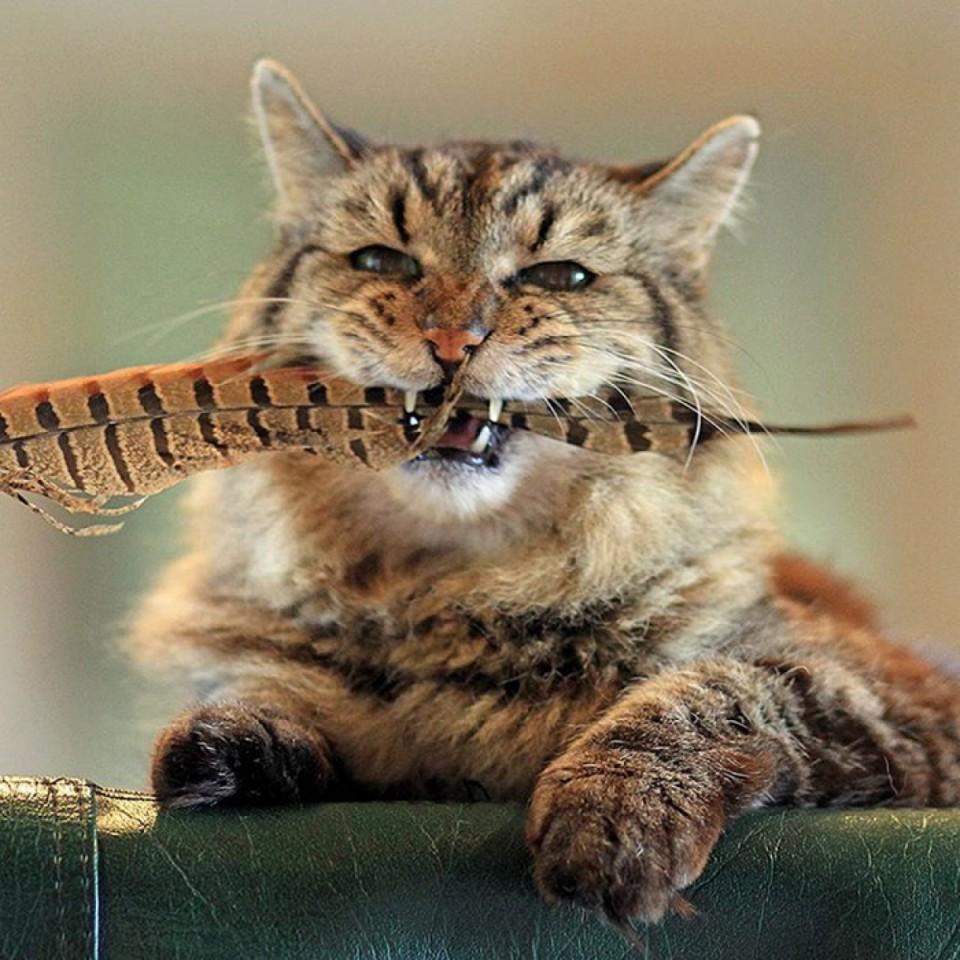 Les records du monde des chats - Vrai ou faux ?