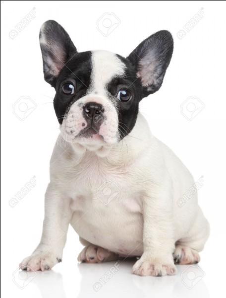 Quiz sur les races de chien