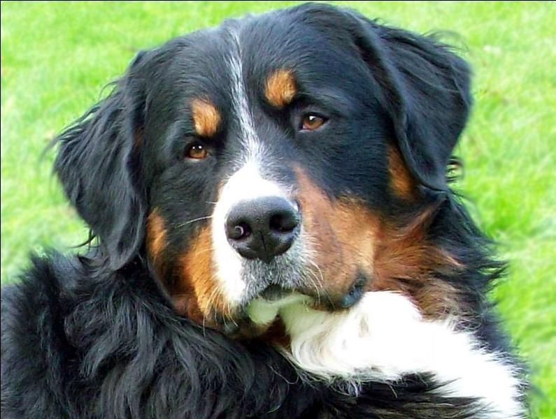 Quelle est la moyenne d'espérance de vie pour un chien de grande taille ?