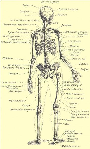 Quelles sont les différentes sortes d'os ?