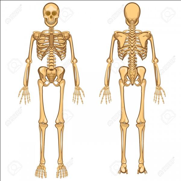 Le squelette comporte ... os