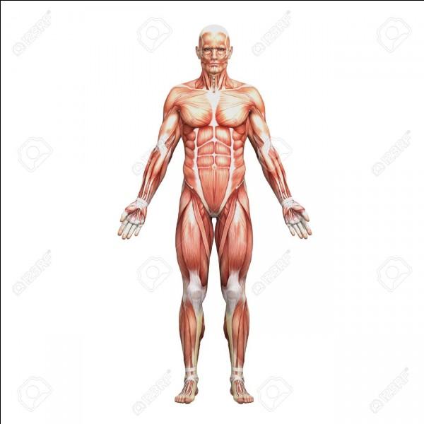 Les muscles sont formés de :