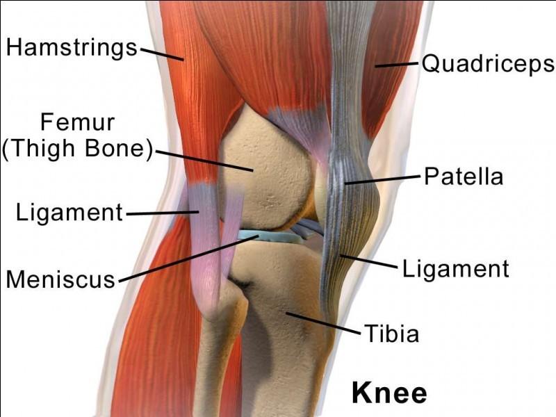 Les os, les articulations et les muscles