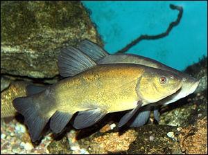 Quel est ce poisson d'eau douce ?