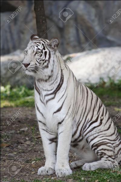 Sur l'image, vous pouvez-voir un tigre blanc.