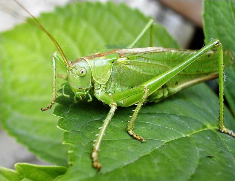 Nombreux sont les dangers qui guettent le criquet, dont l'un des quatre insectes ci-dessous !