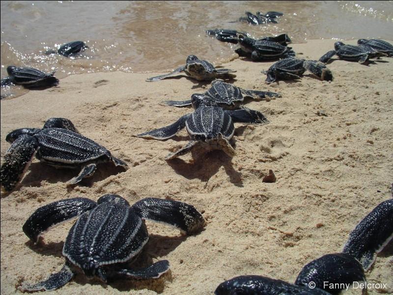 Dès qu'elles sortent du sable, elles sont en danger !