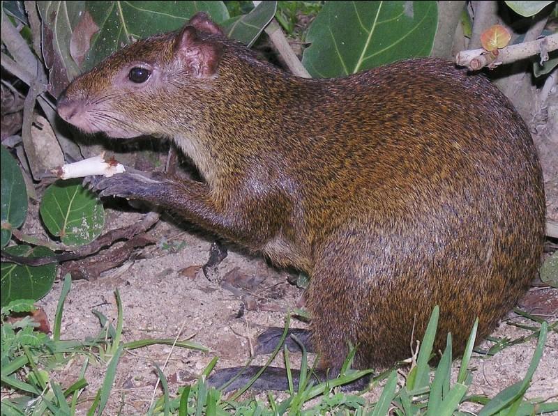 Cet agouti devrait se méfier, l'un des quatre prédateurs, ci-dessous, en ferait bien son repas !