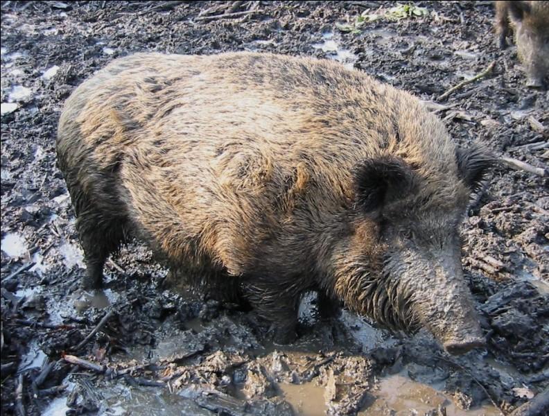Cet animal, surtout adulte, ne doit pas avoir beaucoup de prédateurs, pensez-vous, eh bien si !