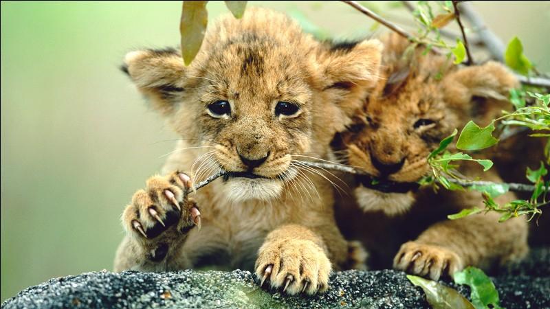 Comment s'appelle le petit du lion ?