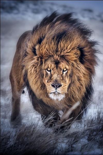 Quelle est la longévité moyenne d'un lion ?