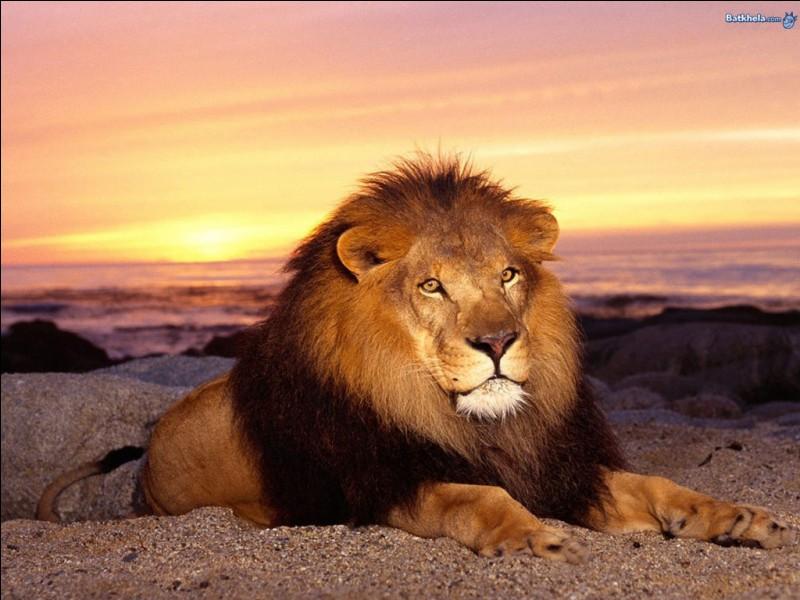 Combien de kilos de viande doit engloutir un lion mâle par jour ?