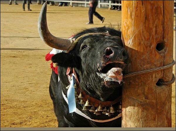 Avant d'entrer dans l'arène, le taureau subit l'afeitado, cette pratique consiste à :