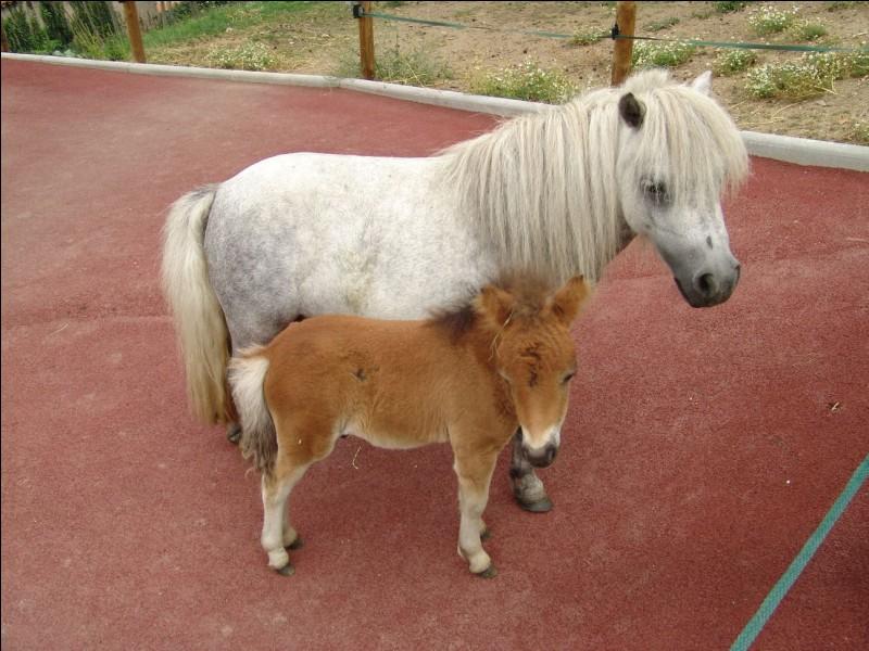 Comment dit-on ''poney'' ?