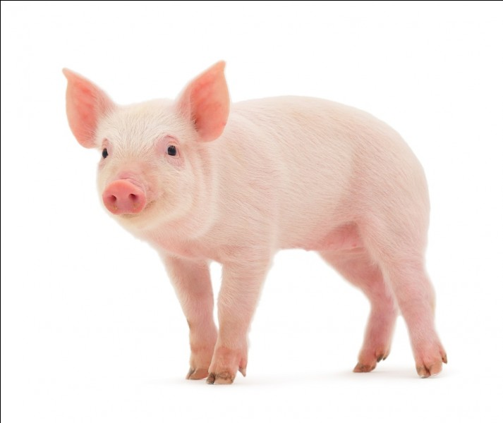 "Comment dit-on ""cochon"" en anglais ?"