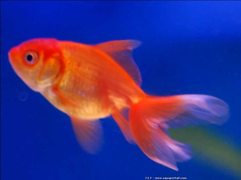 "Comment dit-on ""poisson rouge"" en anglais ?"