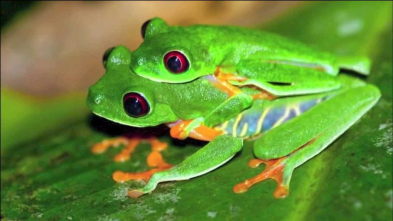 "Comment dit-on ""grenouille"" en anglais ?"