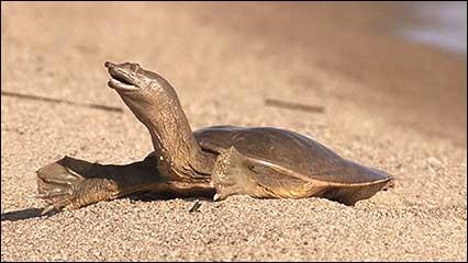 Cette tortue d'Asie, appelée trionyx de Chine a une particularité assez étonnante : elle urine par la bouche !