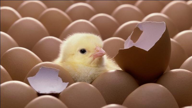 Le jaune de l'œuf est le futur poussin.