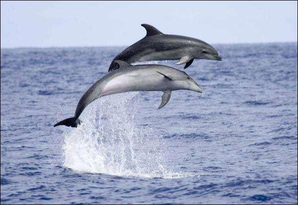 Le dauphin a des poumons.