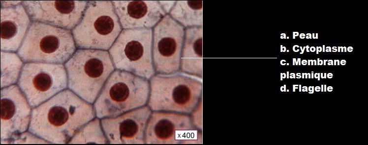 Légendez cette photo de l'observation d'une cellule humaine au microscope.