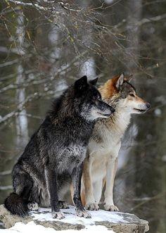 Quel loup es-tu ?