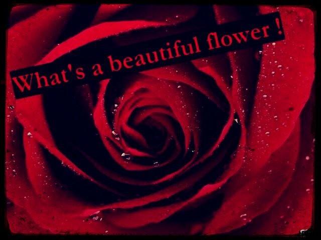 Hum... Comme elle sent bon. Quelle est donc cette jolie fleur rouge ?