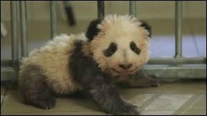 Animaux : Durant quel mois est né le panda géant du zoo de Beauval en 2017 ?